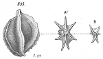 Miliolina bicostata