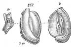 Miliolina concava