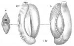 Miliolina elegans