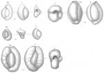 Miliolina seminulum