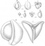 Miliolina tricarinata