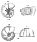 Planorbulina coronata