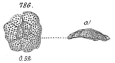 Planorbulina mediterranensis