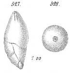 Polymorphina acuta