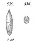 Polymorphina angusta