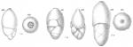 Polymorphina rotundata, author: Cedhagen, Tomas