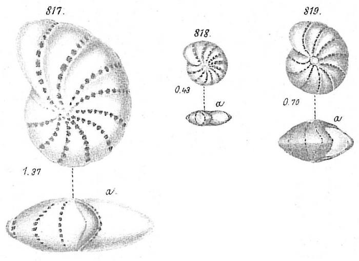 Polystomella subnodosa