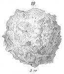 Psammosphaera fusca
