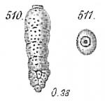 Sagrina dimorpha