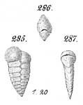 Textularia williamsoni