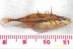 Apeltes quadracus - Fourspine stickleback