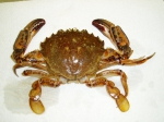 Ovalipes ocellatus - Lady crab