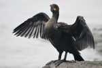 Phalacrocorax auritus, double-crested cormorant