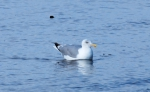 Larus argentatus, Herring gull