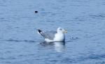 Larus argentatus, Herring gull