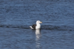 Larus marinus, Great black-backed gull
