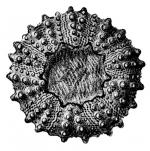Cyphosoma rugosum