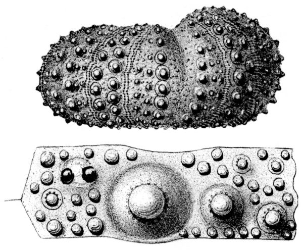 Cyphosoma orbignyanum