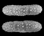 Monilechinus portucalensis