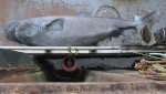 Greenland shark