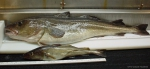 Gadus morhua - large and small Atlantic cod