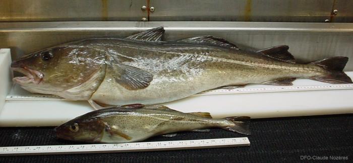 Gadus morhua - large and small Atlantic cod