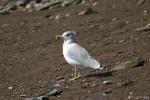 Larus delawarensis - ring-billed gull
