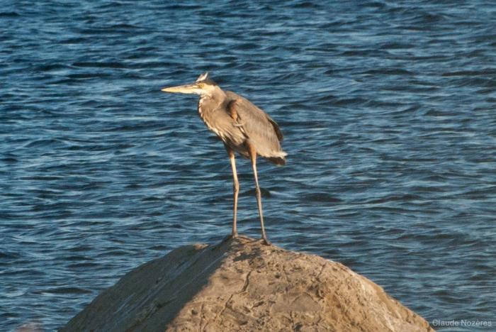 Ardea herodias - great blue heron