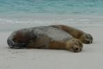 Galapagos sea lion