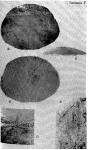 Eoscutella (Tigilella) kamtschatica Shmidt, 1975