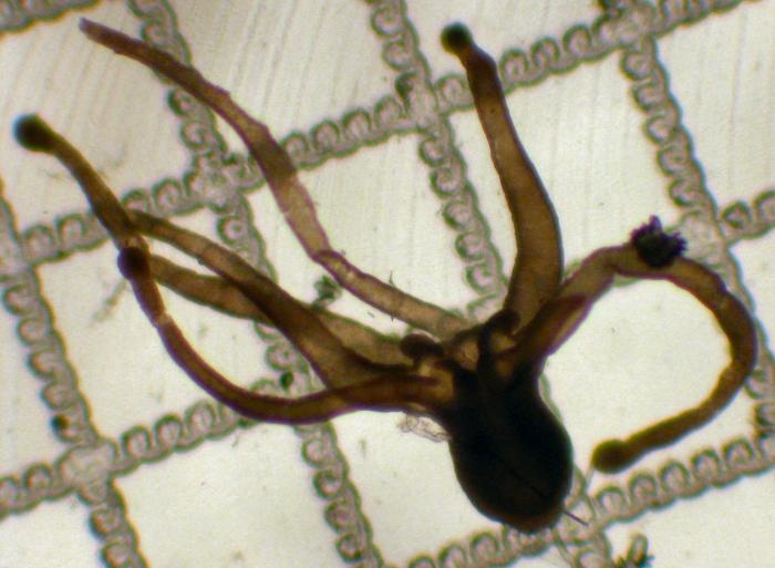 Cerianthid larva