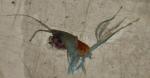 Arietellus plumifer