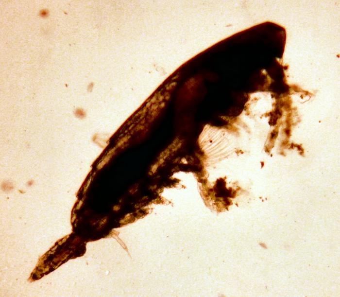 Calocalanus tenuis
