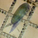 Clausocalanus lividus