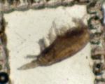 Clausocalanus pergens