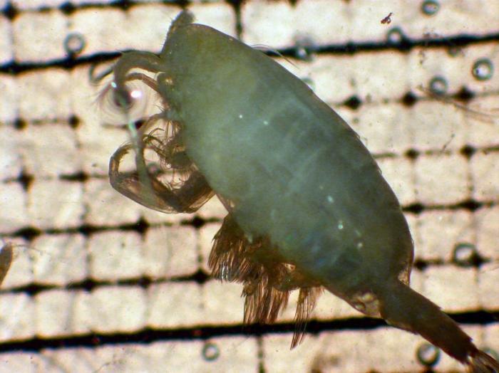 Cornucalanus chelifer