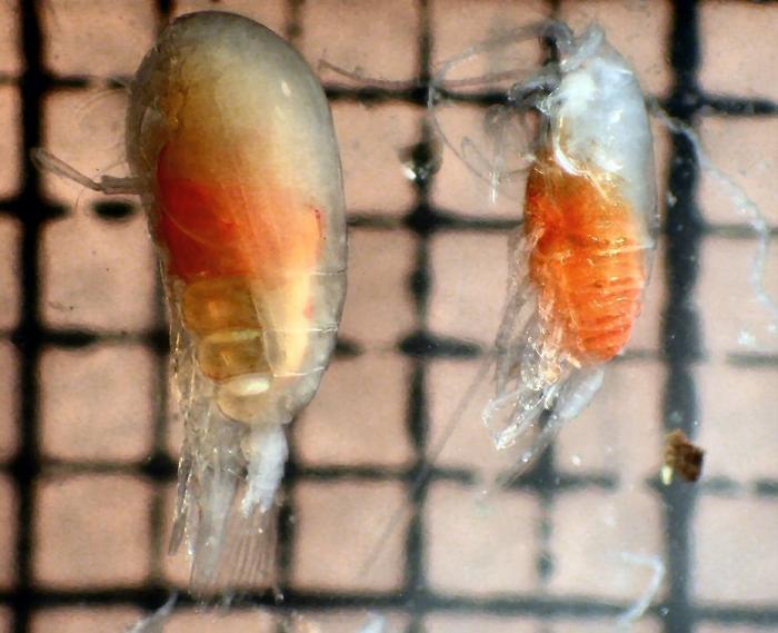 Euchirella rostrata