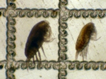 Paracalanus parvus and P. indicus