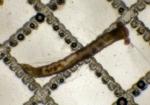 Magelonidae