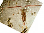 Neocalanus plumchrus