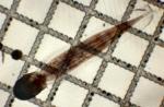 Oikopleura (Coecaria) longicauda
