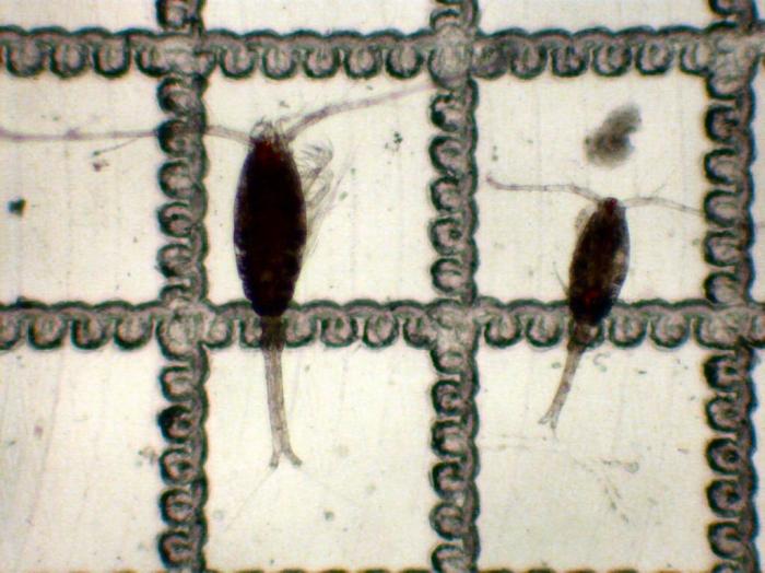 Oithona similis