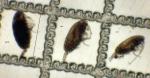 Paracalanus