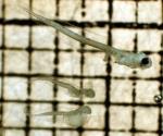 Parophrys