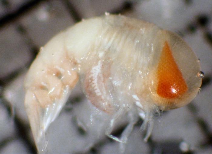 Platyscelidae