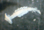 Typhloscolex muelleri