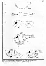 Stomiiformes - drawing