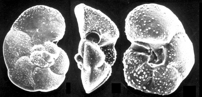 Globorotalia cavernula