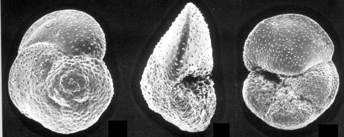 Globorotalia hirsuta