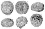 Peripatagus cinctus